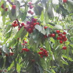 Ag Telesis Cherries
